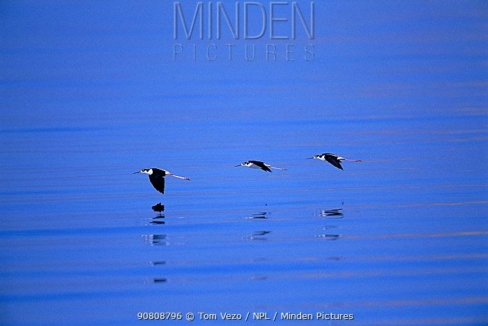 Black necked stilts flying {Himantopus mexicanus} Salton Sea NWR, CA, USA