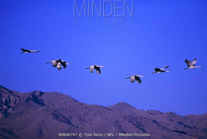 Sandhill cranes flying {Grus canadensis} Bosque del Apache, New-Mexico, USA North America