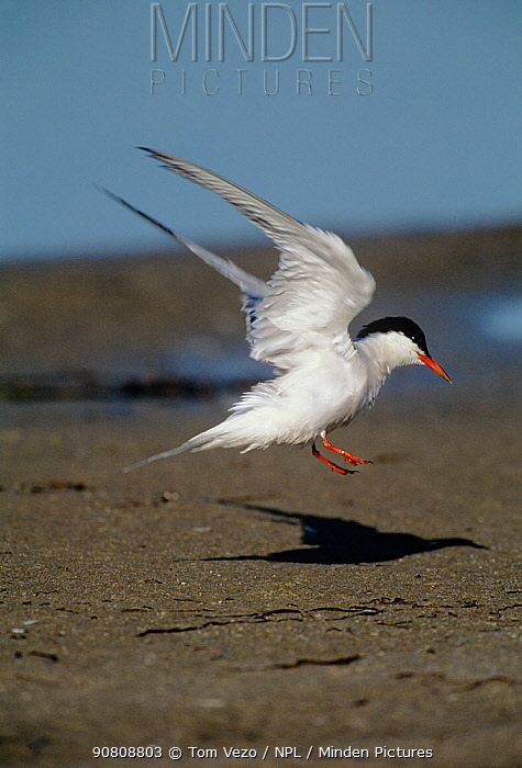 Common tern {Sterna hirundo} landing on beach, Long Island, New York, USA
