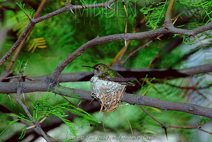 Black chinned hummingbird on nest {Archilochus alexandri} Tucson, Arizona, USA.