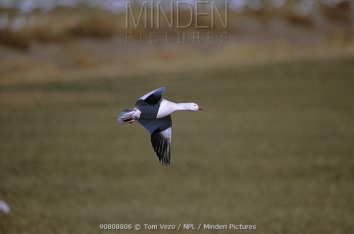 Snow goose {Chen caerulescens} in flight, Bosque del Apache NWR, New Mexico, USA