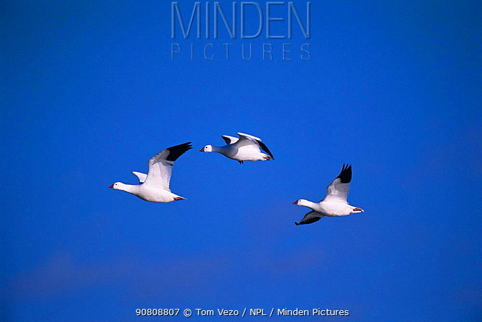 Three Snow geese in flight {Chen caerulescens} New Mexico, USA Bosque del Apache NWR