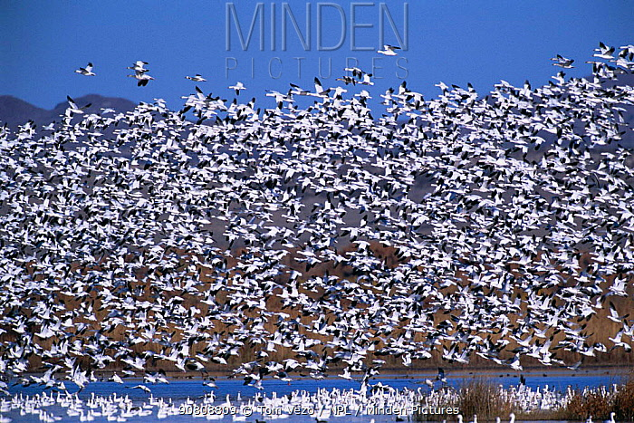 Snow goose flock flying {Chen caerulescens} New Mexico, USA Bosque del Apache NWR