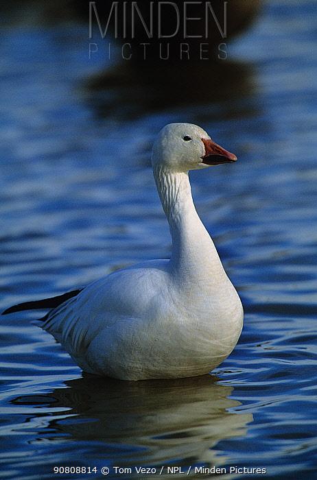 Snow goose {Chen caerulescens} on water, Bosque del Apache NWR, New Mexico, USA