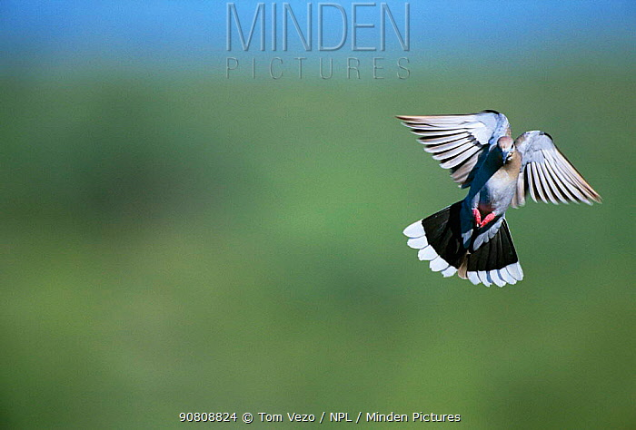White winged dove landing {Zenaida asiatica} Arizona, USA