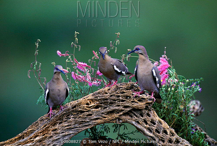Three White winged doves {Zenaida asiatica} Arizona, USA