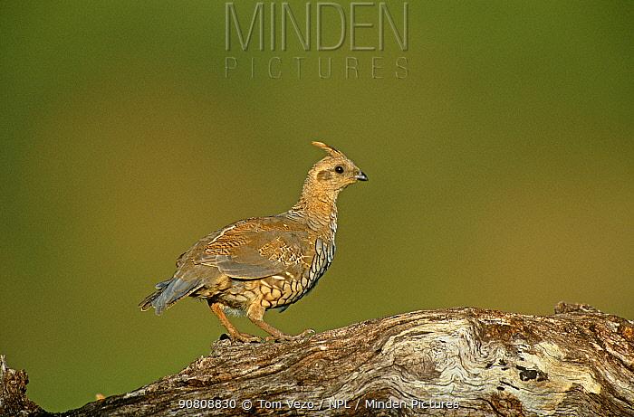 Scaled quail (Callipepla squamata) Sante Rita Mountains, Arizona, USA