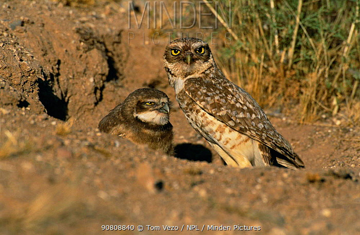 Burrowing owl with chick at entrance to nest burrow {Athene cunicularia} Tucson, Arizona, USA, North America
