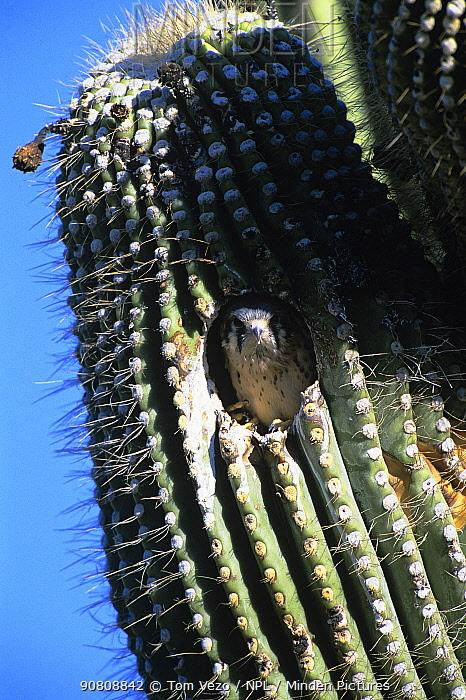 American kestrel {Falco sparverius} juvenile at nest in Saguaro cactus, Arizona, USA