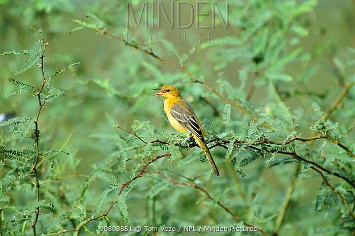 Hooded oriole female singing {Icterus cucullatus} Green valley, Arizona, USA