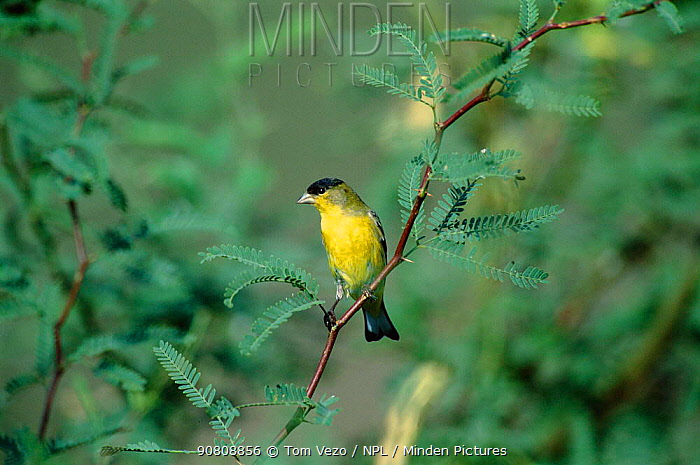 Lesser goldfinch male {Carduelis psaltria} Arizona, USA