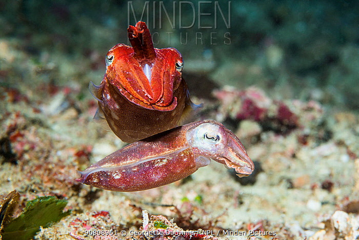 Broadclub cuttlefish (Sepia Latimanus) pair. West Papua, Indonesia. Indo-West Pacific.