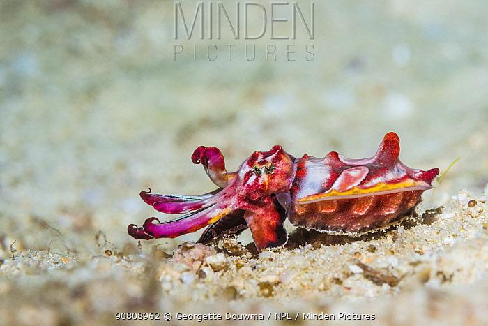 Flambouyant cuttlefish (Metasepia pfefferi), juvenile. West Papua, Indonesia. Indo-West Pacific.