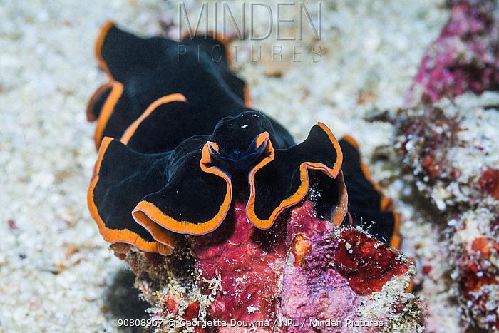 Glorious flatworm (Pseudobiceros gloriosus). West Papua, Indonesia. Indo-West Pacific.