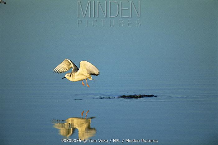 Bonaparte's gull flying, winter plumage {Chroicocephalus philadelphia} Mexico