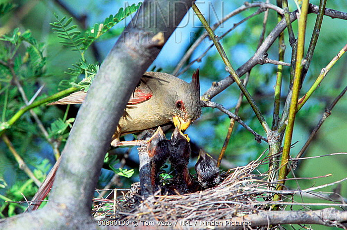 Pyrrhuloxia {Pyrrhuloxia sinuatus} female feeds chicks in nest, Arizona, USA