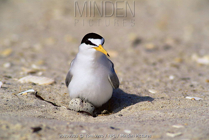 Least tern {Sternula antillarum} settling down onto eggs, Long Island, USA.