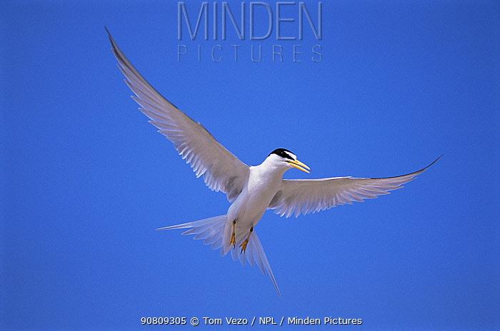Least tern {Sternula antillarum} in flight, Long Island, USA.