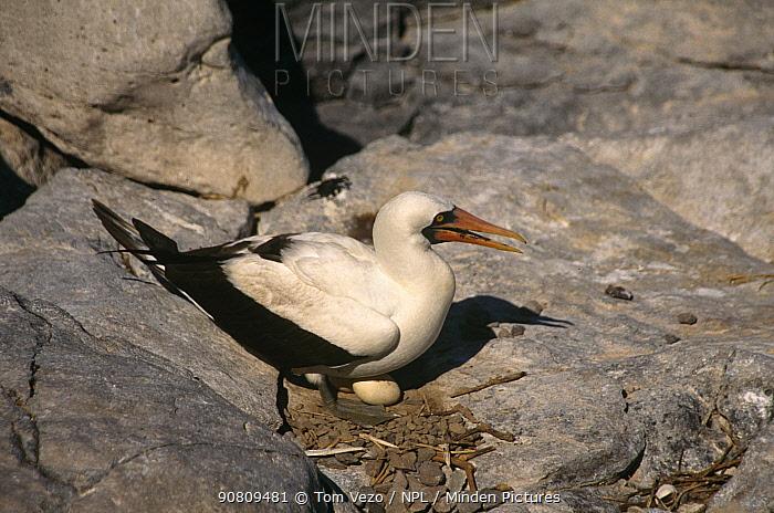 Masked Booby {Sula dactylatra melanops} on nest with egg, Hood Island, Galapagos.