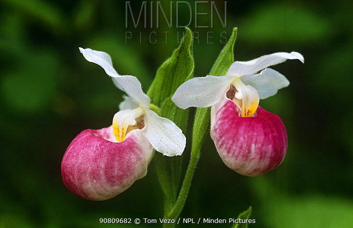 Pink Lady's slipper orchid {Cypripedium acaule} New York, USA