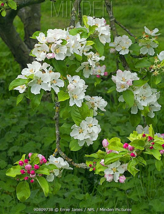 'Lady Henniker' apple tree blossom (Malus domestica) Thornham Hall, Suffolk, England, UK.