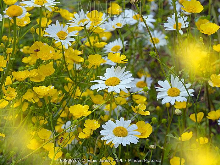 Ox-eye daises (Leucanthemum vulgare) in meadow, England, UK. June.