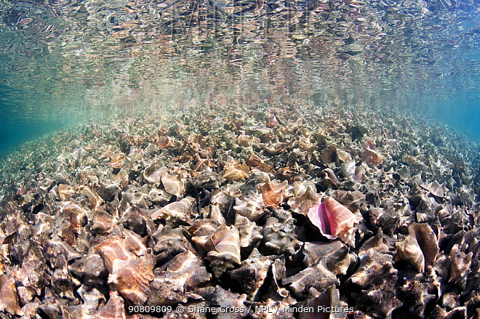 Massive pile of queen conch (Lobatus gigas) shells, called a midden, in The Bahamas.