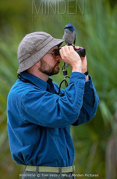 Scrub jay {Aphelocoma coerulescens} on birdwatchers binoculars. Florida USA