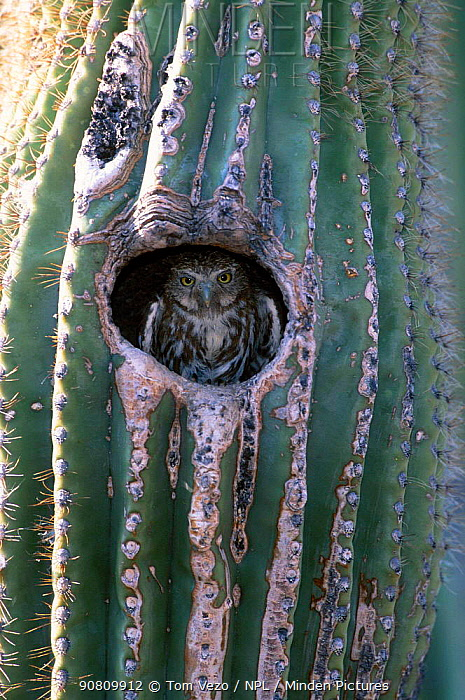 Ferruginous pygmy owl in cactus nest hole {Glaucidium brasilianum} Arizona USA