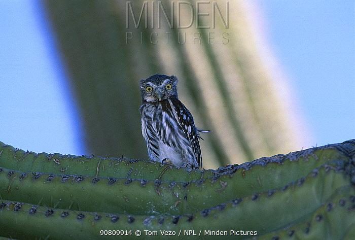 Ferruginous pygmy owl juvenile perched on cactus {Glaucidium brasilianum} Arizona USA