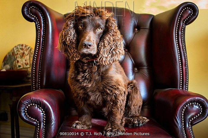 Chocolate working cocker spaniel in Chesterfiel arm chair. Winchester, Hampshire, UK