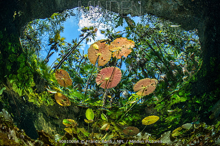 Water lilies at the surface in Cenote Nicte-Ha,Tulum, Quintana Roo, Yucatan Peninsula, Mexico.