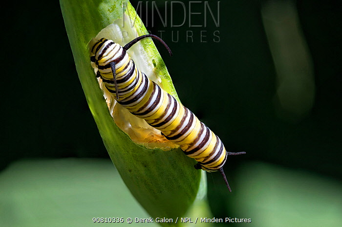 Caterpillar of Monarch butterfly (Danaus plexippus) feeding on seed pod of Bloodflower plant ( Asclepias curassavica). Dominica, Eastern Caribbean, Lesser Antilles. Focus stacked photo.
