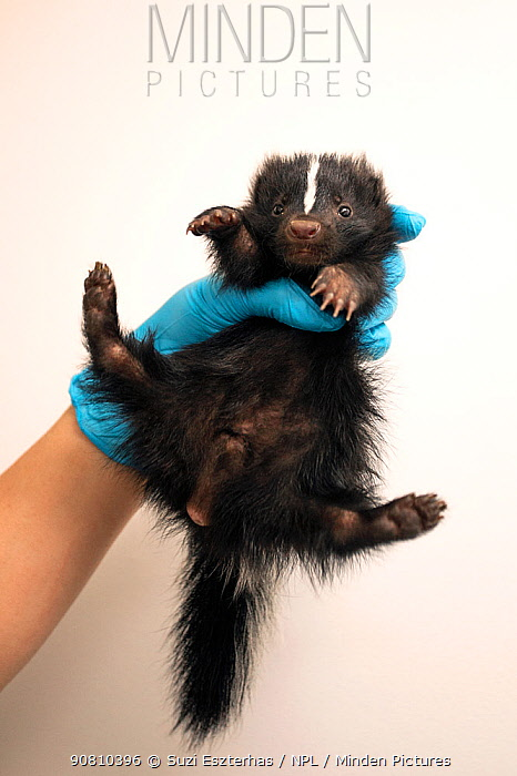 Striped Skunk (Mephitis mephitis) one-month-old orphaned baby (orphaned when mother was hit by car)held in hand, Sarvey Wildlife Care Center, Arlington, Washington, USA. June.