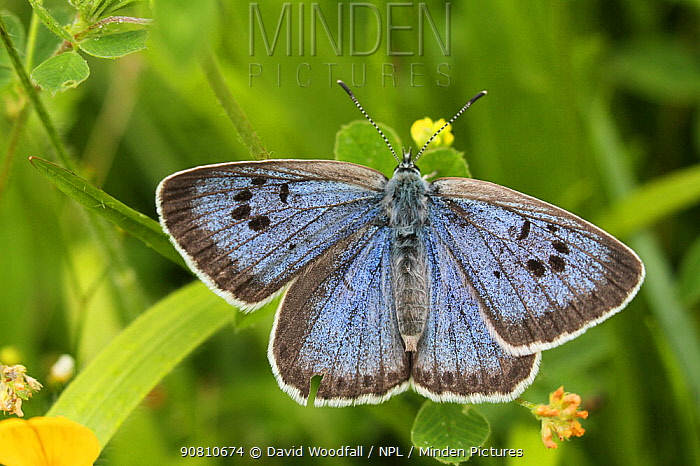 Large blue butterfly (Phengaris arion), a re-introduced species from Scandinavian stock, Green Down Somerset Wildlife Trust Reserve, England, UK, July 2012