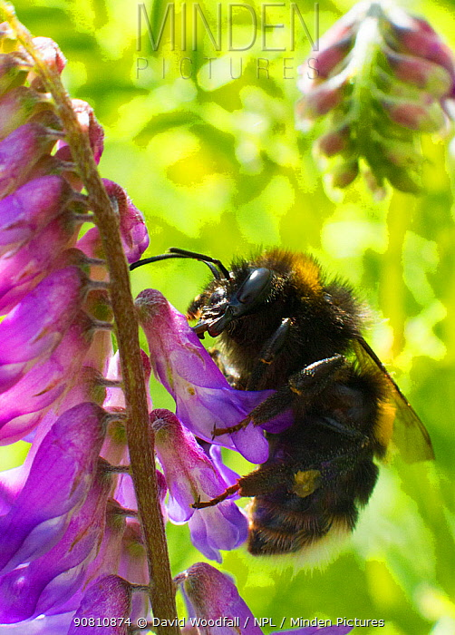 White tailed bumble bee (Bombus lucorum) feeding Tufted Vetch  (Viccia cracca) by piercing the top of the flower and not pollinating the plant. Newport Marshes Reserve, Gwent, Wales, UK. July.