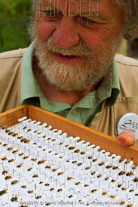 Scientist Ivan Wright with sample of pinned bees caught during research, Cowley, Oxford, UK, September 2014.