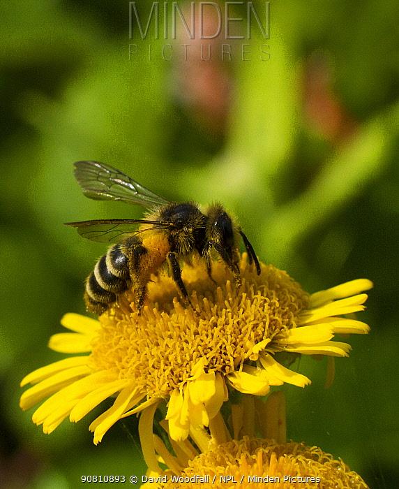 Honey bee (Apis mellifera) on Fleabane  (Erigion eriginousus) Newport Marshes Reserve, Gwent, Wales, UK. August.