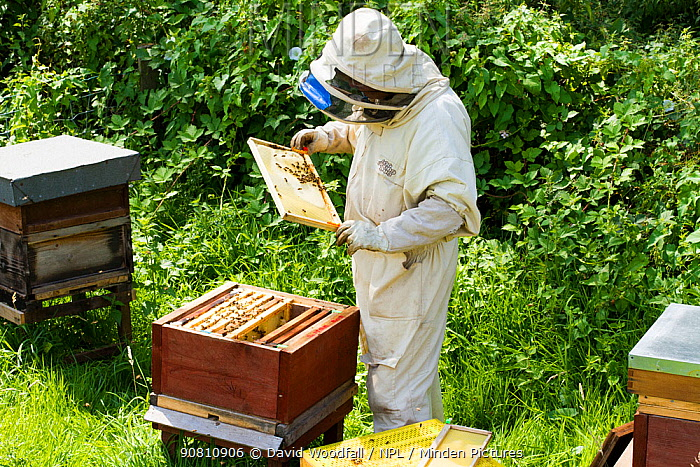 Bee-keeper with frames distorted by excessive heat, showing a risk climate change can hold for bees, Usk, Gwent, Wales, UK. August 2014.