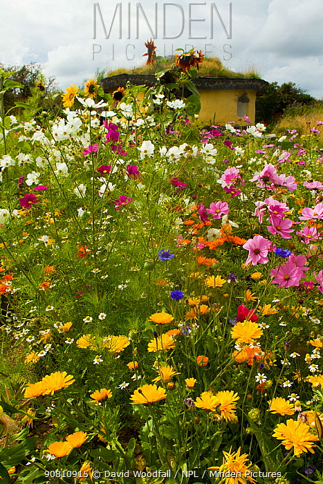 Colourful flowers including Sunflowers, Cornflowers, Pink Cosmos and Marigolds, surrounding Iron Age roundhouse to benefit bees. Felin Uchaf, Aberdaron, Gwynedd, North Wales, UK. August.