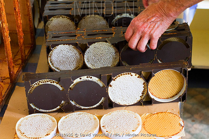 Circles of honey and wax built by bees onto circular foundation wax, Usk, Gwent, Wales, UK, August 2014.