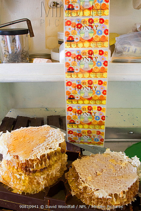 Honey on combs, produced by hives of Nick Hunt. Usk, Gwent, Wales, UK, August.