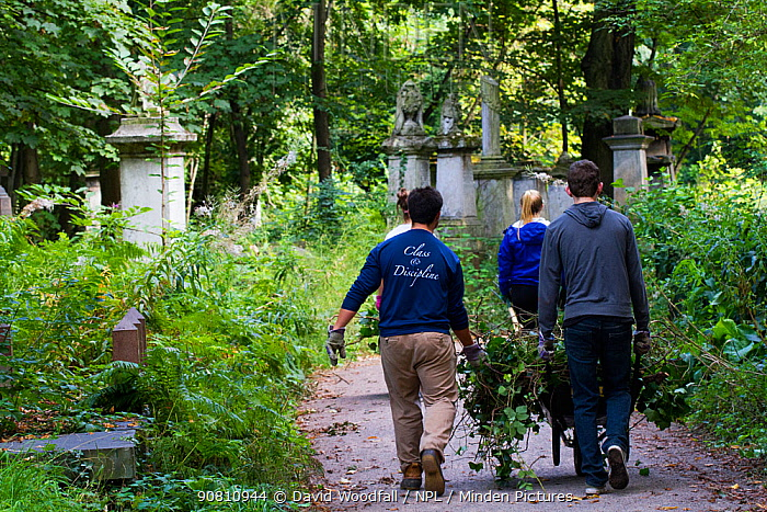 Friends of Tower Hamlets Cemetery Community Conservation volunteers carrying out conservation work to clear ivy from graveyard, and planting flowers as nectar food plants for bees. Bow, London, England, UK, September 2014.