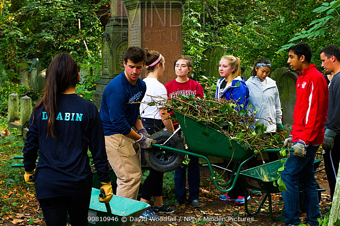 Friends of Tower Hamlets Cemetery Community Conservation volunteers carrying out conservation work to clear ivy from graveyard and to plant flowers as nectar food plants for bees. Bow, London, England, UK, September 2014.