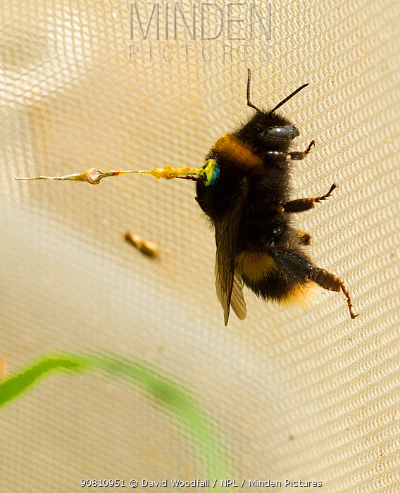 Buff tailed bumble bee (Bombus terrestris) queen in flight tunnel, with transponder attached by Dr Stephan Wolf to monitor its flights. Rothampsted Agricultural Research station, Hertfordshire, UK. September.