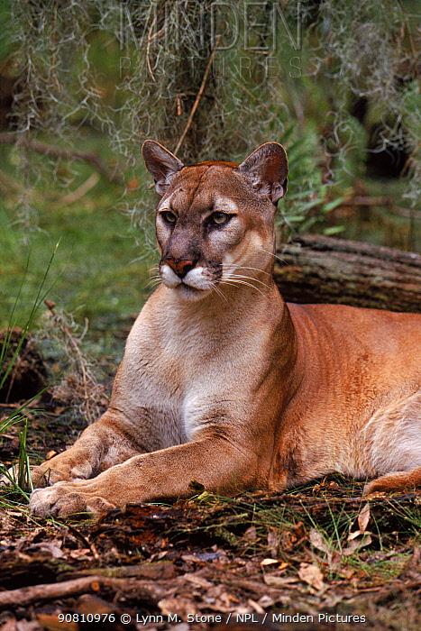 Puma / Florida panther (Puma concolor couguar), portrait. Florida, USA.