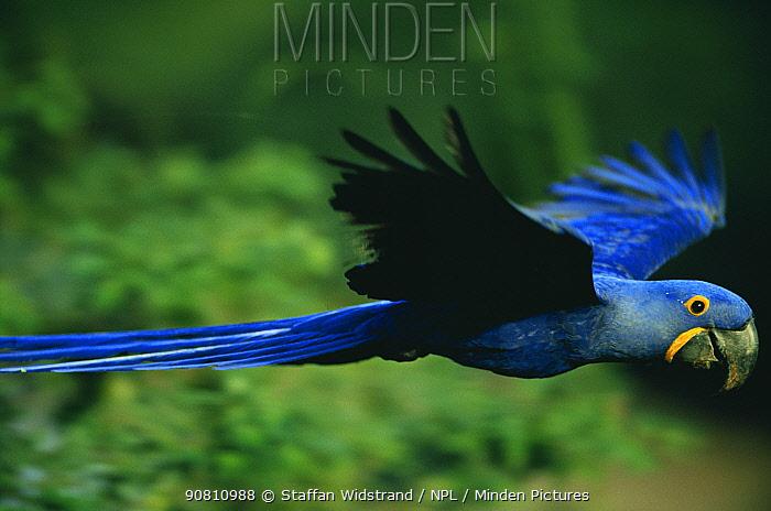Hyacinth macaw (Anodorhynchus hyacinthinus) flying. Pantanal, Brazil.