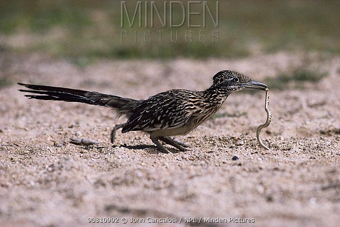 Road runner with snake prey {Geococcyx californianus} USA