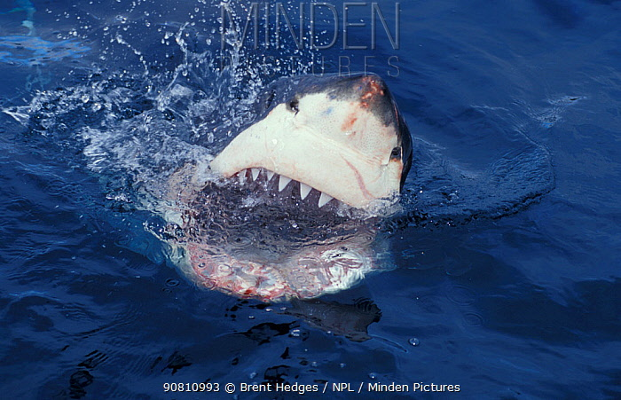 Great white shark at surface, mouth open (Carcharodon carcharias), South Australia.