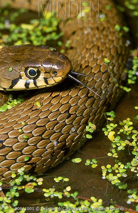 Grass snake (Natrix natrix), UK.